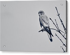 Acrylic Print featuring the photograph Kestrel by Justin Albrecht