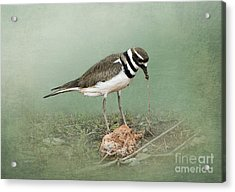 Killdeer And Worm Acrylic Print by Betty LaRue