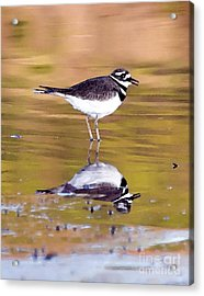 Killdeer Reflection Acrylic Print by Betty LaRue
