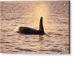 Killer Whale Acrylic Print by Alexis Rosenfeld