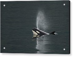 Killer Whale Calf Blows As It Surfaces Acrylic Print by Ralph Lee Hopkins