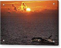 Killer Whale In The Water Acrylic Print by Richard Wear