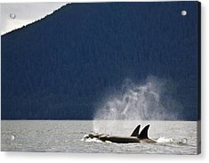Killer Whales, Alaska, Usa Acrylic Print by Richard Wear