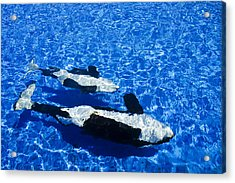 Killer Whales Acrylic Print by Dave Fleetham - Printscapes