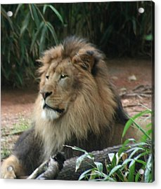 King Of The Pride Acrylic Print by Debi York