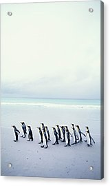 King Penguins (aptenodytes Patagonicus) Falkland Islands Acrylic Print by Kim Heacox