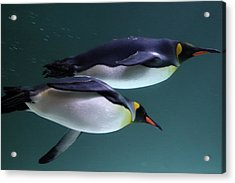 King Penguins Australia Acrylic Print by Timphillipsphotos