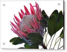 King Protea. Acrylic Print
