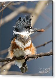 Kingfisher Acrylic Print by Craig Leaper
