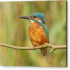 Kingfisher Acrylic Print by Graham Manson