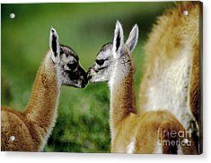 Acrylic Print featuring the photograph Kissing Guanacos - Torres Del Paine Np Chile by Craig Lovell