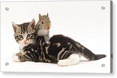 Kitten And Squirrel Acrylic Print by Jane Burton