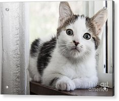 Kitten In The Window Acrylic Print