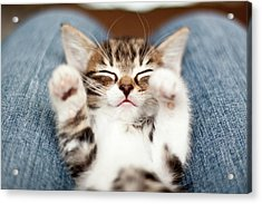 Kitten On Lap Acrylic Print by Fjola Dogg Thorvalds