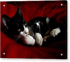 Kitten On Red Take Two Acrylic Print by Maggy Marsh