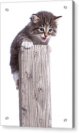 Kitten On Wooden Post Acrylic Print by Cindy Singleton
