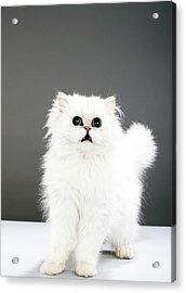 Kitten Portrait Acrylic Print by Martin Poole