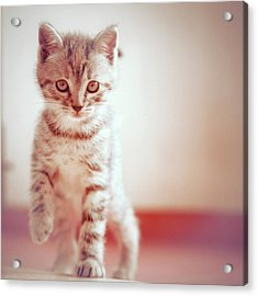 Kitten Walking On Floor Acrylic Print
