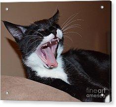 Kitten Yawns Acrylic Print by Melissa Goodrich