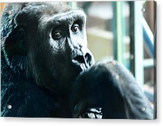 Kivu The Gorilla Acrylic Print by Bill Cannon