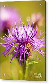 Knapweed Flower Acrylic Print