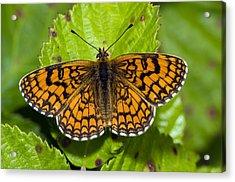 Knapweed Fritillary Butterfly Acrylic Print by Paul Harcourt Davies