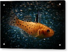 Knight Goby Acrylic Print by Gerald Kloss