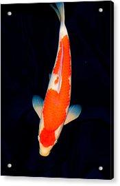 Kohaku Koi01 Acrylic Print