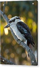 Acrylic Print featuring the photograph Kookaburra by Serene Maisey