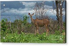 Kudu Female Posing Acrylic Print