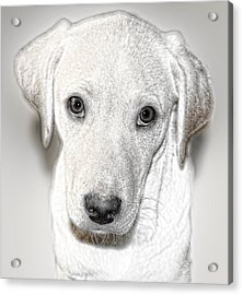 Lab Puppy Bw Sketch Acrylic Print by Linda Phelps