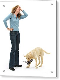 Labrador Golden Retriever Pup Chewing Acrylic Print by Mark Taylor