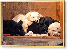 Labrador Puppies Sleeping Acrylic Print by Richard James Digance