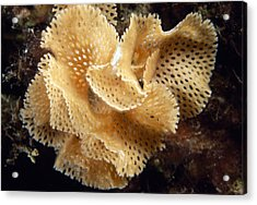 Lace Coral Bryozoan Acrylic Print by Alexis Rosenfeld