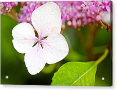 Acrylic Print featuring the photograph Lacecap Hydrangea Petal by MaryJane Armstrong