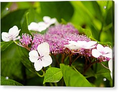Acrylic Print featuring the photograph Lacecap Hydrangeas by MaryJane Armstrong