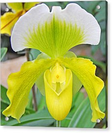 Lady Slipper Orchid Acrylic Print by Becky Lodes