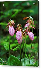 Lady Slippers Everywhere Acrylic Print