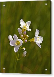Acrylic Print featuring the photograph Lady Smock by Paul Scoullar