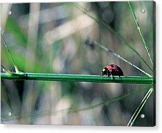 Ladybird Acrylic Print