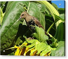 Ladybird Starling On A Sunflower Acrylic Print by Katie Bauer