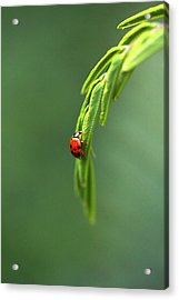 Ladybug 1 Acrylic Print by Pan Orsatti