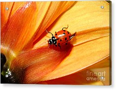 Ladybug On Orange Yellow Dahlia . 7d14686 Acrylic Print by Wingsdomain Art and Photography