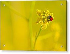 Ladybug On Yellow Flower Acrylic Print by Hegde Photos