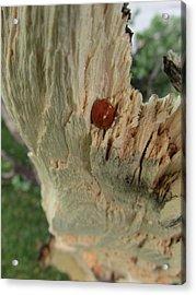 Ladybug Acrylic Print by Todd Sherlock