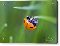Ladybug Topsy Turvy Acrylic Print by Donna Munro