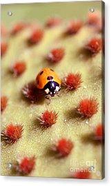 Ladybug2 Acrylic Print