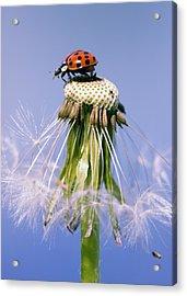Ladybugs Dandelion Acrylic Print by Falko Follert