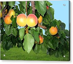 Lake Country Apricots Acrylic Print by Will Borden