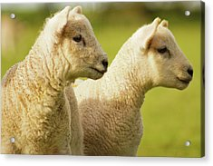 Lambs Acrylic Print by Ginny Battson